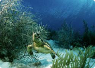 Roatan Turtle